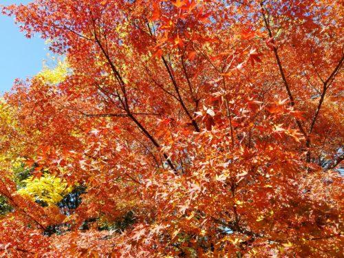 梅小路公園の紅葉1