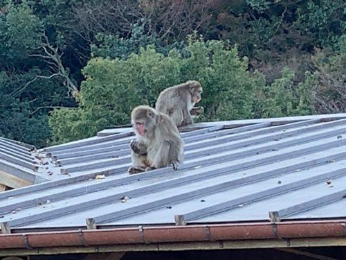 小屋の屋根のサル