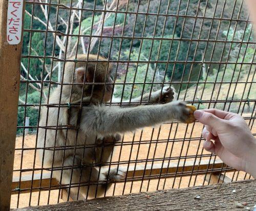 サルの餌付け4