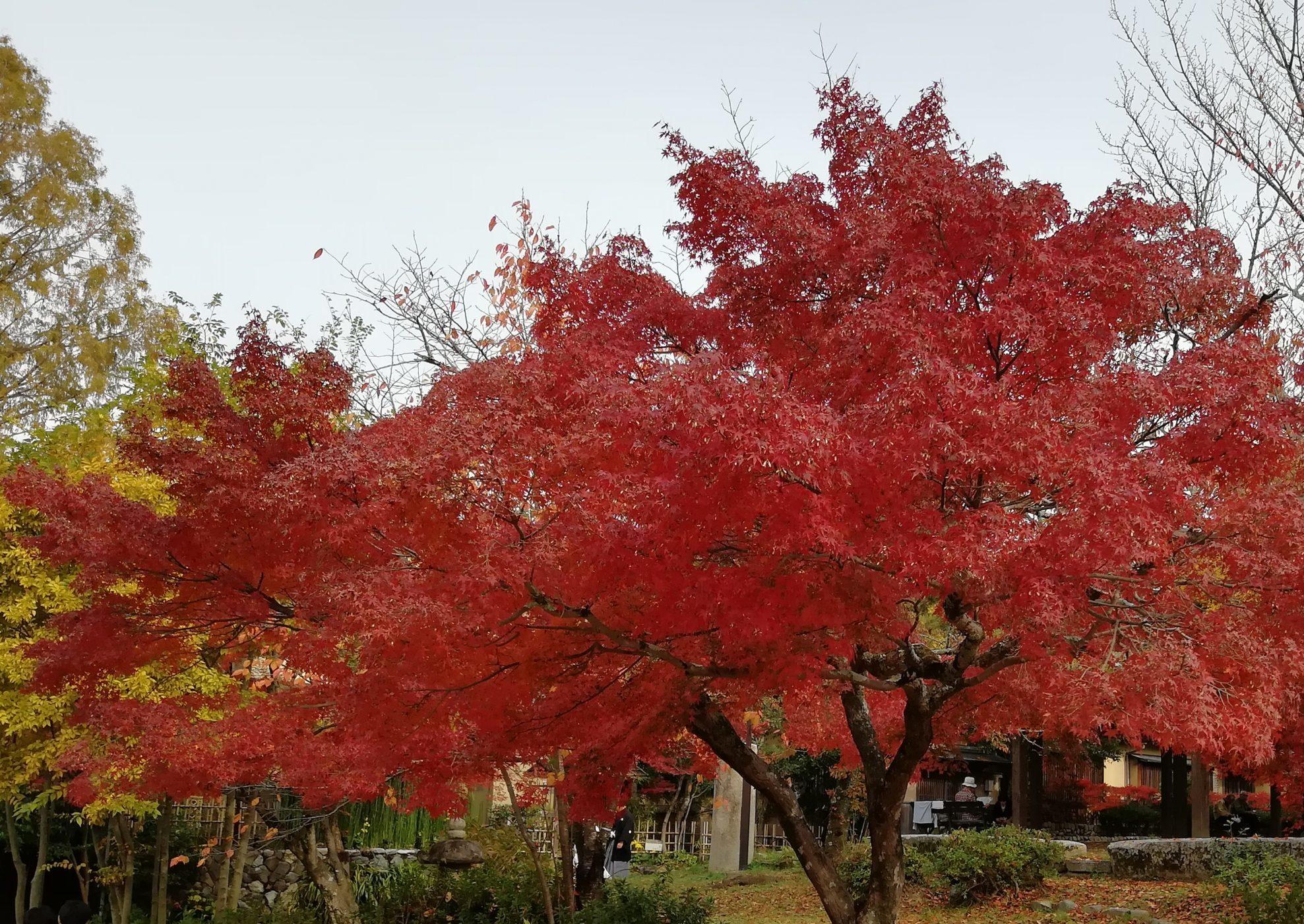 円山公園の紅葉2