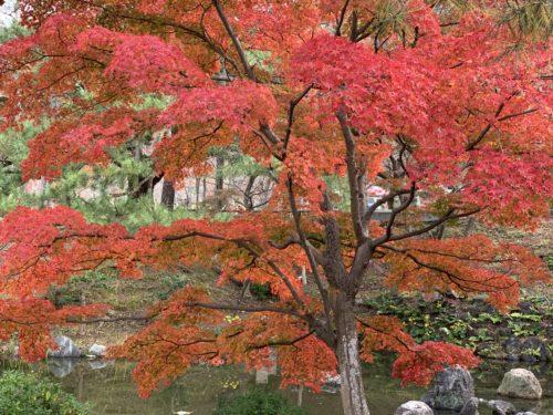 円山公園の紅葉4