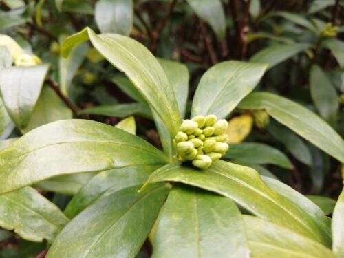 ハーブ園の沈丁花1