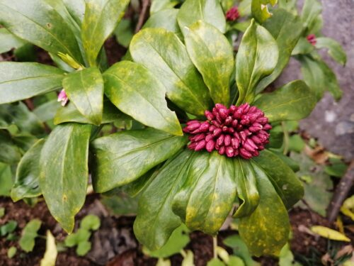 ハーブ園の沈丁花2