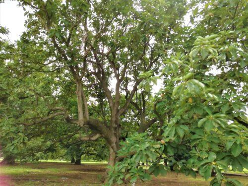 新宿御苑ホオノキ1